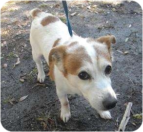 Jack Russell Terrier Mix Dog for Sale in Gainesville, Florida - Spuds