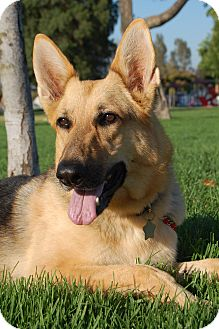 German Shepherd Dog Dog for Sale in Altadena, California - Feather