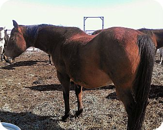 Quarterhorse Mix for adoption in Eaton, Colorado - Christine