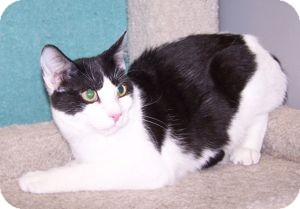 Domestic Shorthair Cat for Sale in Colorado Springs, Colorado - K-Emery6-Morgan