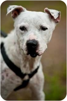 American Pit Bull Terrier Mix Dog for adption in Fresno, California - Bon Bon