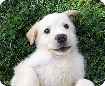 Golden Retriever/Great Pyrenees Mix Puppy for Sale in La Mirada, California - Nala