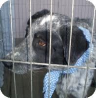 Border Collie Mix Dog for adption in Las Vegas, Nevada - Tank