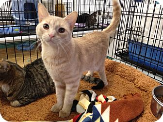 Colorpoint Shorthair Kitten for Sale in Speonk, New York - Skye