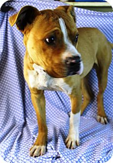 Boxer Mix Dog for Sale in Westminster, Colorado - Mugsy