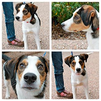 Border Collie/Beagle Mix Puppy for Sale in Westland, Michigan - Merlin