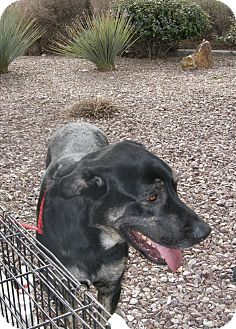 Shepherd (Unknown Type)/Great Dane Mix Dog for Sale in Las Vegas, Nevada - Big Boy