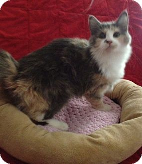 Domestic Mediumhair Kitten for Sale in Simpsonville, South Carolina - Tiffany