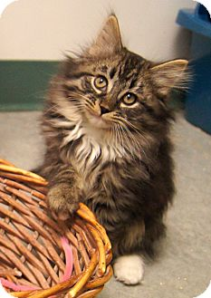 Maine Coon Kitten for Sale in Colorado Springs, Colorado - Padme