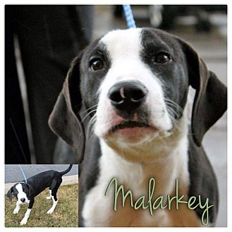 English Pointer Mix Puppy for Sale in Westland, Michigan - Malarkey