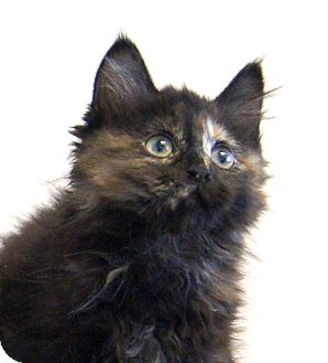 Maine Coon Kitten for Sale in Colorado Springs, Colorado - Mamie