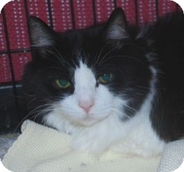 Domestic Mediumhair Cat for adoption in Chesapeake, Virginia - Pretty