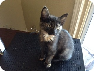 Domestic Shorthair Kitten for Sale in Bentonville, Arkansas - Chin Chin
