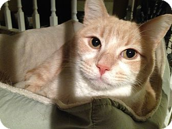 Domestic Shorthair Cat for adoption in Boise, Idaho - Aristotle