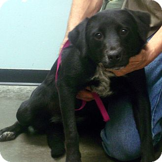 Labrador Retriever/Australian Cattle Dog Mix Dog for adption in hagerstown, Maryland - Folly