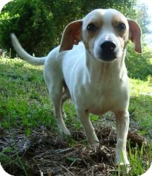 Chihuahua/Whippet Mix Dog for Sale in Ocala, Florida - CheeWaaWaa (Reduced)