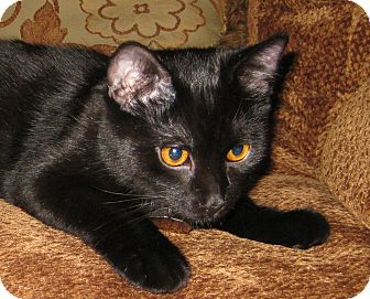 Domestic Shorthair Cat for Sale in Edmond, Oklahoma - Bullet