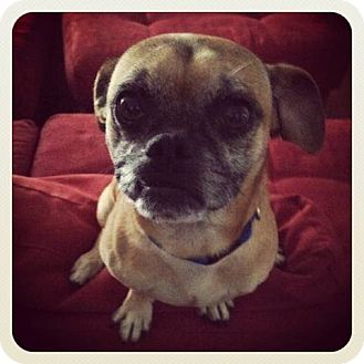 Pug/Chihuahua Mix Dog for Sale in Austin, Texas - Brewster