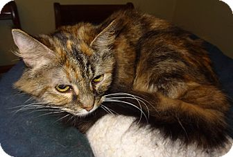 Maine Coon Cat for adoption in Bentonville, Arkansas - Imari