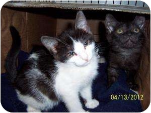 Domestic Longhair Kitten for adoption in Oceanside, New York - Lovely