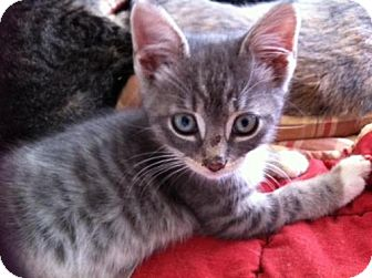 Domestic Shorthair Kitten for Sale in Horsham, Pennsylvania - Blue