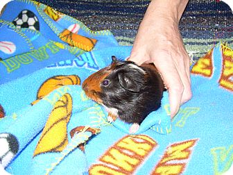 Guinea Pig for adoption in johnson creek, Wisconsin - Hogan