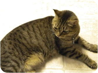 Domestic Shorthair Cat for adoption in Cleveland, Ohio - Autumn