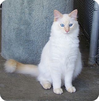 Domestic Longhair Cat for Sale in Grants Pass, Oregon - Tigger