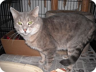 Domestic Shorthair Cat for adoption in South Elgin, Illinois - Charley Boy