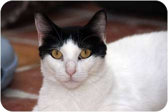 Domestic Shorthair Cat for Sale in Tempe, Arizona - Beauty