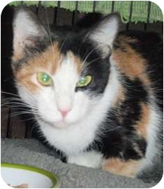 Calico Cat for adoption in Pasadena, California - Cali
