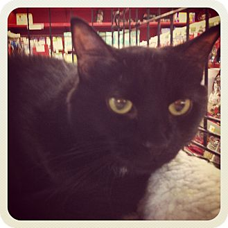 Domestic Shorthair Cat for adoption in Great Mills, Maryland - Phantom