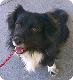 Border Collie Dog for Sale in Thousand Oaks, California - Ella