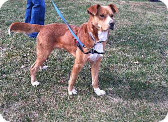 Nova Scotia Duck-Tolling Retriever/Boxer Mix Dog for adption in Bridgewater, New Jersey - Griffin