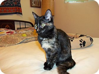 Domestic Mediumhair Kitten for adoption in TORRANCE, California - Mary Ann