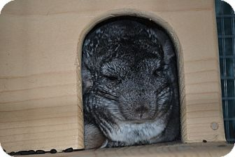 Chinchilla for Sale in Selden, New York - Sage