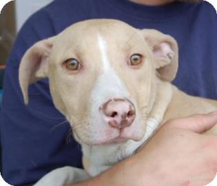 Pit Bull Terrier Mix Dog for adption in Brooklyn, New York - Augusto