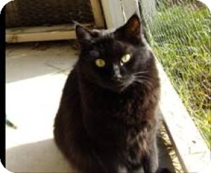 Domestic Mediumhair Cat for adoption in Sacramento, California - Spricket