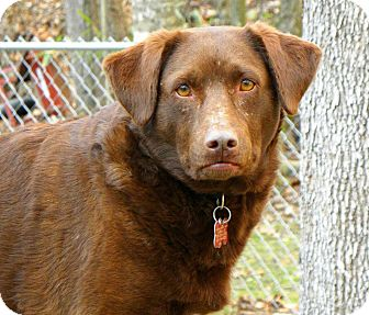 Chesapeake Bay Retriever Mix Dog for adption in Lexington, KY, Kentucky - Aisen