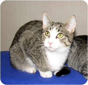 Domestic Shorthair Kitten for adoption in Oxford, New York - Jerry