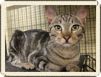 Bengal Cat for adoption in Orange, California - Big Paws