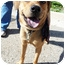 Photo 3 - Labrador Retriever/Terrier (Unknown Type, Medium) Mix Dog for adoption in Detroit, Michigan - Spunky- Foster Me!
