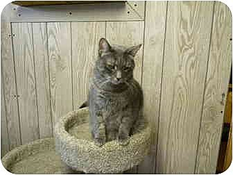 Domestic Shorthair Cat for adoption in Bartlett, Illinois - Andy
