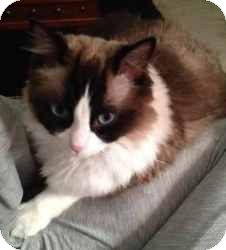 Ragdoll Cat for Sale in Ennis, Texas - Nala