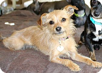 Terrier (Unknown Type, Small) Mix Dog for Sale in Temecula, California - Gypsy-5 lbs
