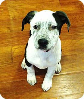 Blue Heeler/Labrador Retriever Mix Puppy for Sale in Torrance, California - DIAMOND
