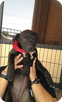 Labrador Retriever/Collie Mix Puppy for adption in Tucson, Arizona - LOLA
