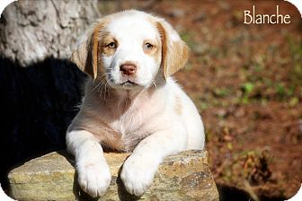Spaniel (Unknown Type) Mix Puppy for Sale in Wilmington, Delaware - Blanche