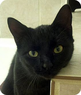 Bombay Cat for Sale in Arlington, Texas - Eliza Doolittle