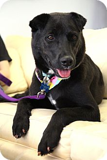 Labrador Retriever/Terrier (Unknown Type, Medium) Mix Dog for adption in Garland, Texas - Cutie Pie